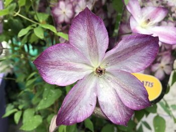 Taylors Clematis: viticella Pernille