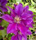 Taylors Clematis:  Picardy