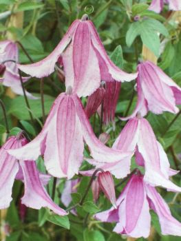 Taylors Clematis:  Pink Delight
