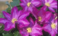 Taylors Clematis:  Pink Champagne