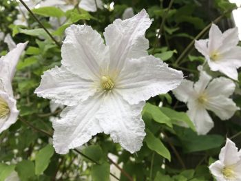 Taylors Clematis:  Prince George