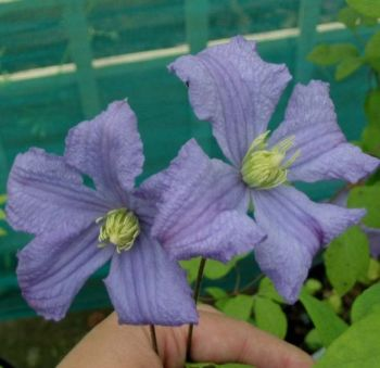 Taylors Clematis:  Prince Charles