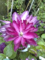Taylors Clematis:  Red Star