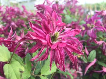 Taylors Clematis: viticella Rosalyn