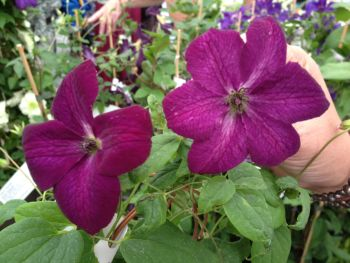 Taylors Clematis: viticella Royal Velours