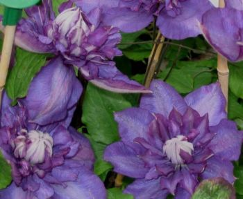 Taylors Clematis:  Royalty