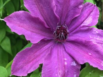 Taylors Clematis:  Ruby Glow