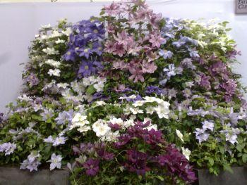 Taylors Clematis:  Gardening Scotland 2008