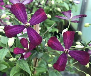 Taylors Clematis:  Sweet Summer Love