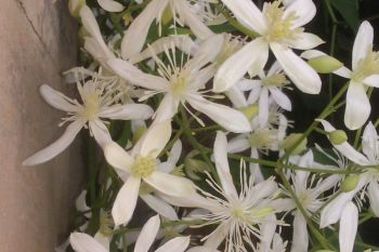 Taylors Clematis: maximowicziana Terniflora