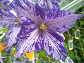 Taylors Clematis:  Tie Dye