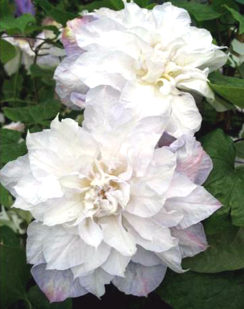Taylors Clematis:  Veronicas Choice