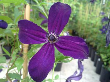Taylors Clematis: viticella Victor Hugo