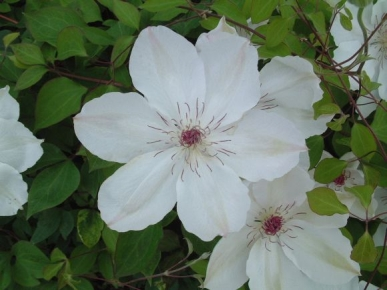 Taylors Clematis:  Wedding Day