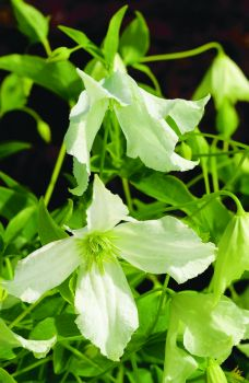 Taylors Clematis: viticella White Magic