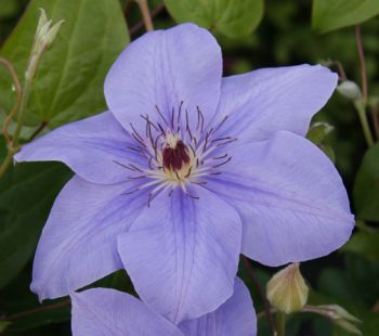 Taylors Clematis:  Princess of Wales