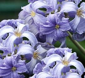 Taylors Clematis: heraclefolia Wyevale