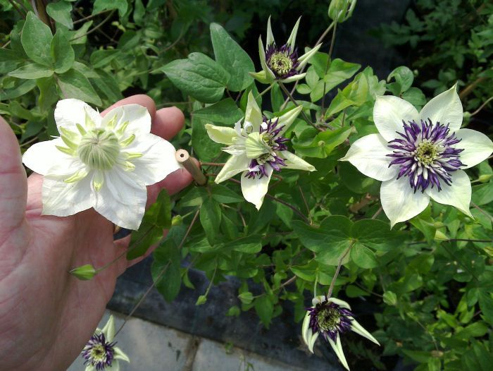 Clematis Viennetta reverting back to parents