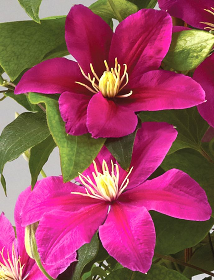 Clematis Acropolis up close