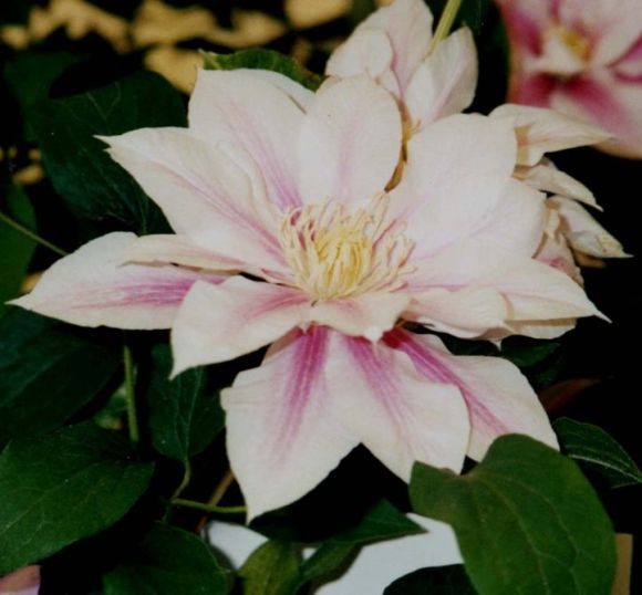 Clematis Andromeda in double form