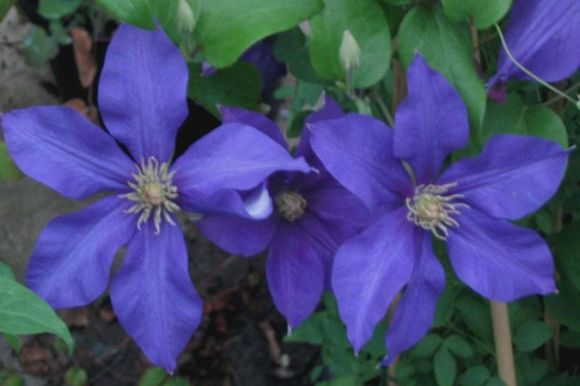 Clematis Ascotiensis group shot old pic
