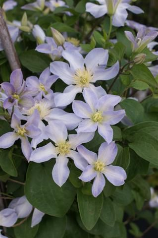 Clematis Baby Doll