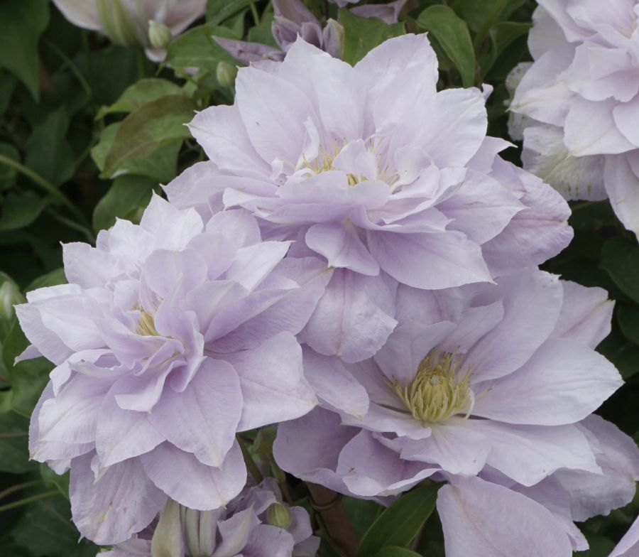 Clematis Bellissima, showing the doubles