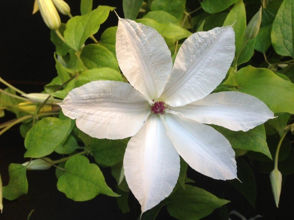 Clematis Beautiful Bride