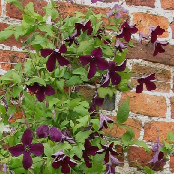 Clematis Black Prince in a graden situation