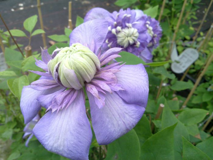 Clematis Blue Light just opening