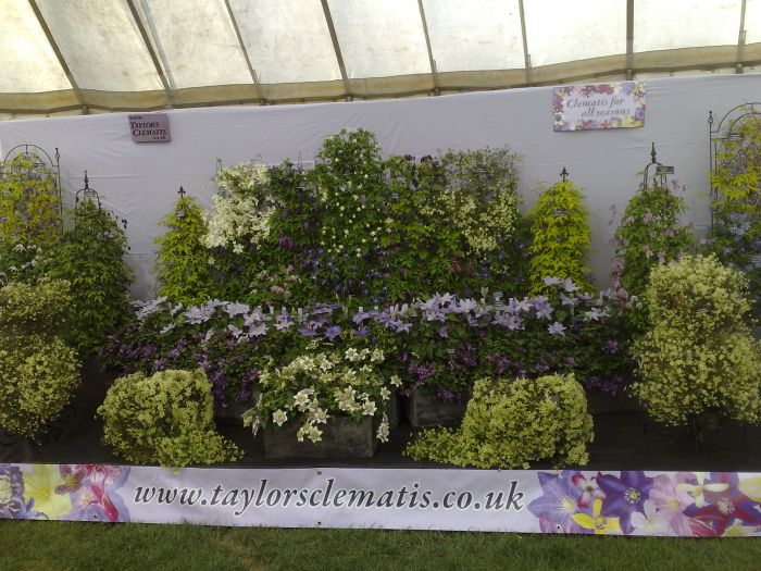 Lots of evergreen clematis here!