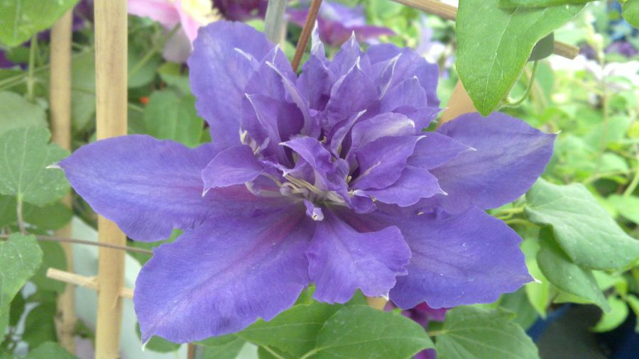 Clematis Chevalier in Semi double form