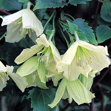 clematis cirrhosa Ourika Valley old pic