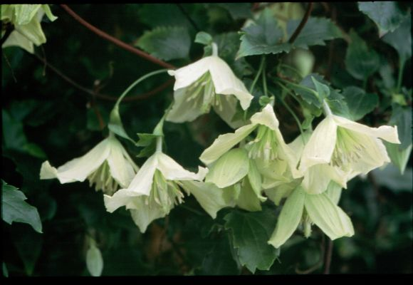 clematis cirrhosa Ourika Valley old pic group shot