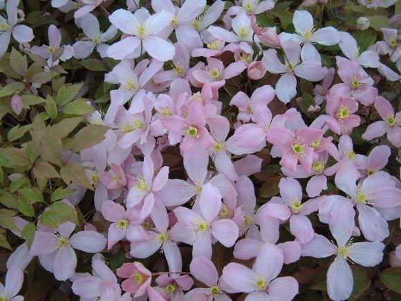 clematis montana Vera group shot