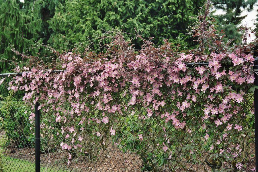 Clematis montana Rosebud group shot