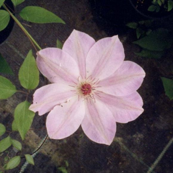 Clematis Dawn old pics