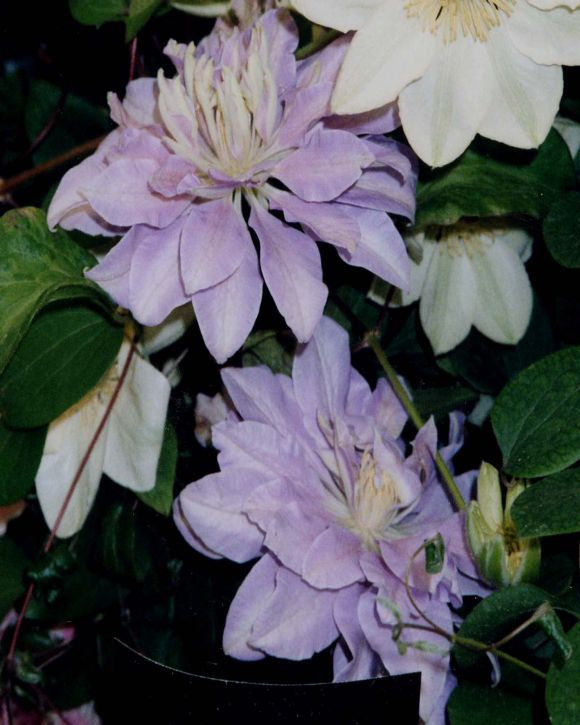 Clematis Dennys Double very old photo