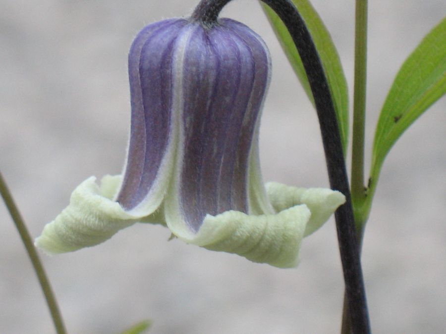 Clematis Doctor Mary nice nodding flowers