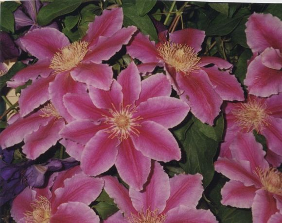 Clematis Doctor Ruppel mass shot old pic