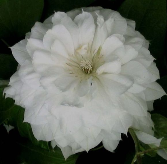 Clematis Duchess of Edinburgh fully double