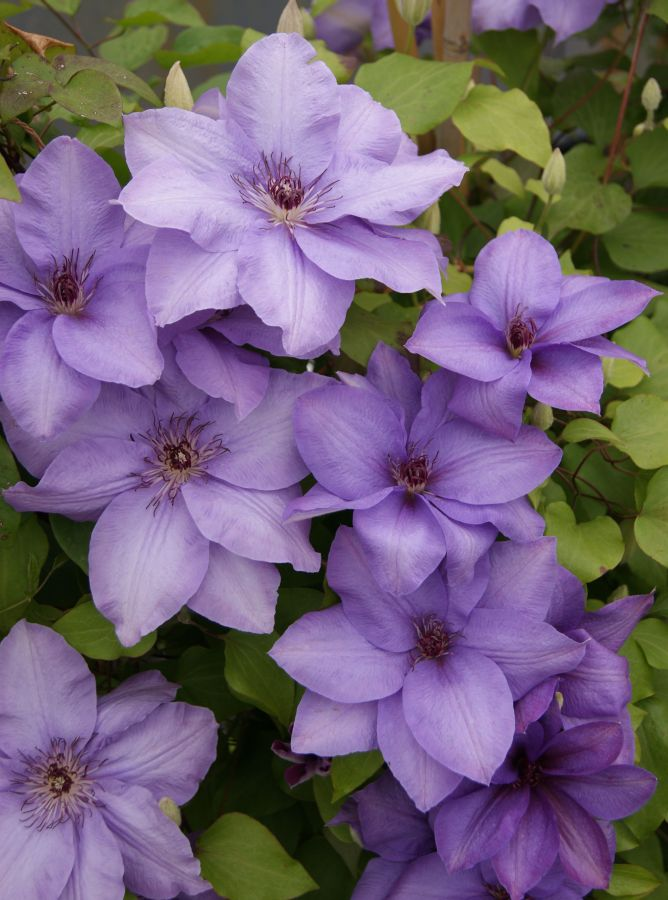 Clematis Esther mass shot