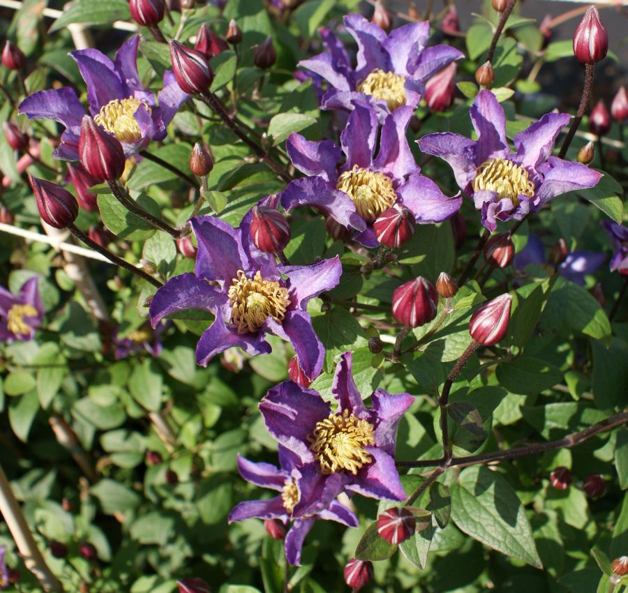 Clematis Exciting
