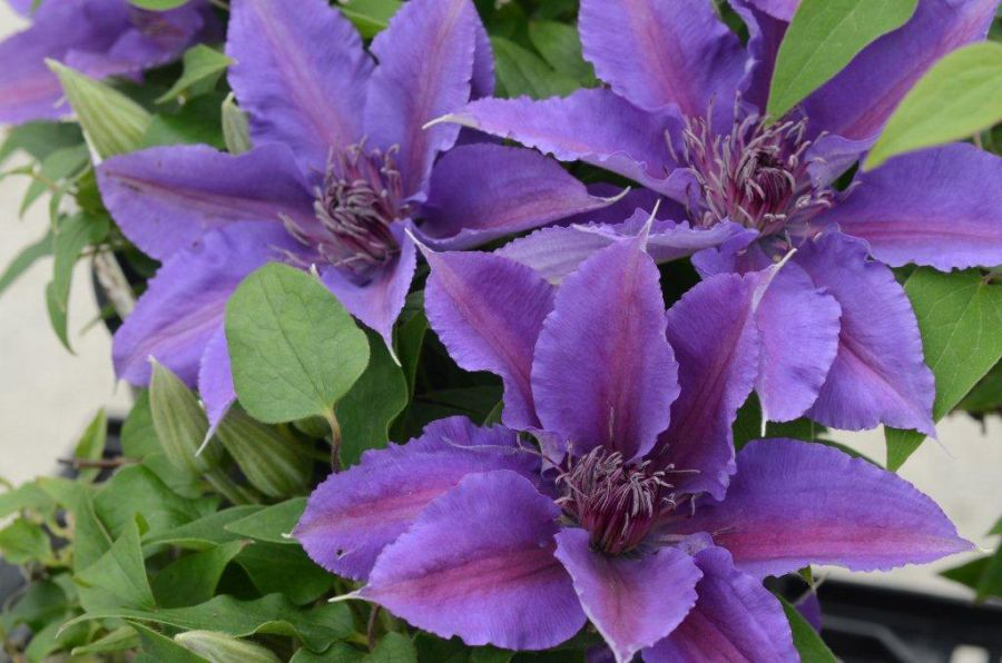 Clematis Edda group shot