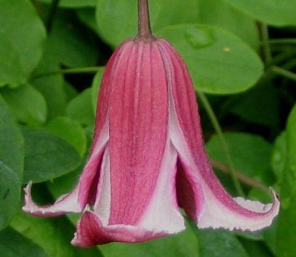 Clematis texensis Etoile Rose nodding