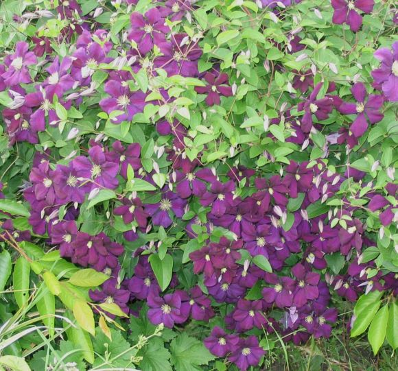 Clematis Etoile Violette mass group shot