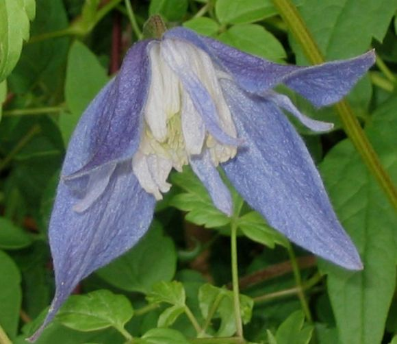 clematis Francis Rivis up shot (old pic)