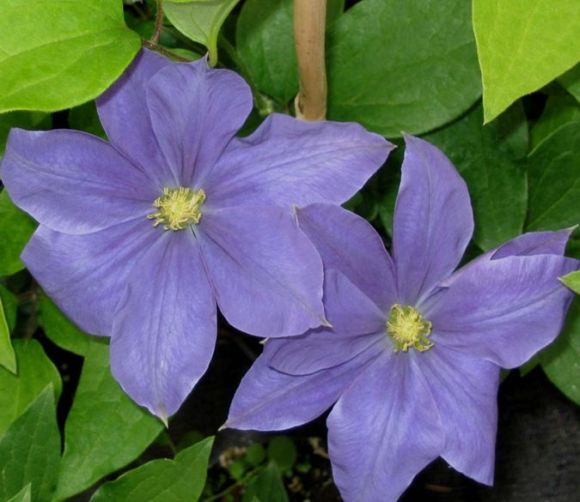 Clematis Fuji-musume old picture