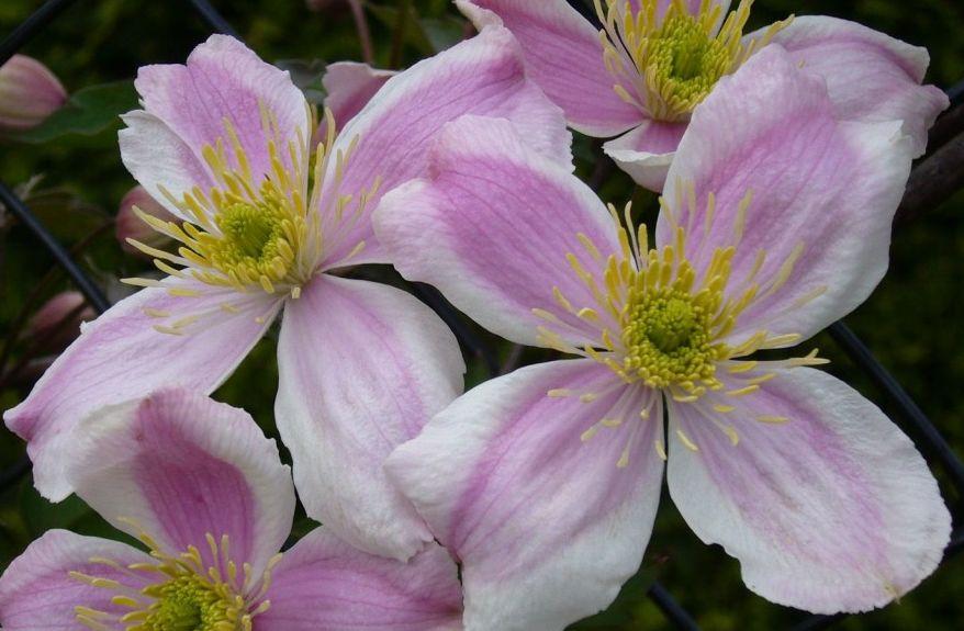 montana giant star, bigger flowers than normal (nice pair)