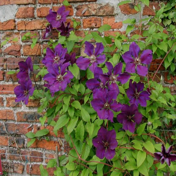 Clematis Gipsy Queen mass shot